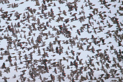 "BOSQUE DEL APACHE 4062  ""Red-Winged Rush""  While driving the roads of Bosque del Apache National Wildlife Refuge, we spotted this large group of Red-Winged Blackbirds that was flying around one of the fields... they would fly around a bit, then land for a moment, then fly around again.  I've never seen so many Red-Winged Blackbirds at one time before.  Luckily I had my camera and telephoto lens ready to capture this rush of birds!  (If you click on the image to view the larger version, you might be able to see one Yellow-Headed Blackbird which was mixed in with the Red-Wings!  HINT:  Look along the lower third of the image, near the center of the frame.)"