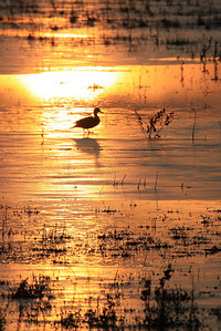 "BOSQUE DEL APACHE4455  ""Duck on Ice""  Sunrise at Bosque del Apache National Wildlife Refuge"