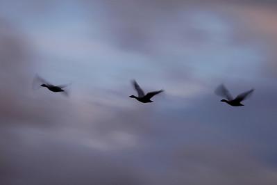"BOSQUE DEL APACHE 4369  ""Sunset Snow Geese""  Bosque del Apache National Wildlife Refuge"