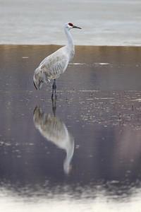 "BOSQUE DEL APACHE 4523  ""Crane Reflection""  Bosque del Apache National Wildlife Refuge"