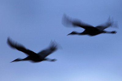 "BOSQUE DEL APACHE 4392  ""Sandhill Symmetry""  Sandhill Cranes at Bosque del Apache National Wildlife Refuge"
