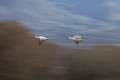 "BOSQUE DEL APACHE 4326  ""The race is on!""  Two Snow Geese speed past the scenery at Bosque del Apache National Wildlife Refuge"