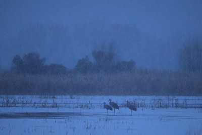 "BOSQUE DEL APACHE 4051  ""Blue morning at Bosque""  An overcast, snowy, predawn morning makes for a dramatic image of these Sandhill Cranes at Bosque del Apache National Wildlife Refuge."