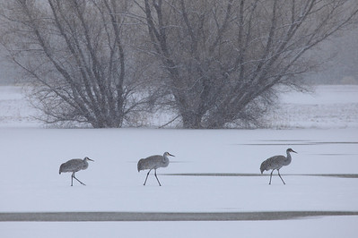 "BOSQUE DEL APACHE 4155  ""Morning stroll in the snow""  Sandhill Cranes on a snowy December morning at Bosque del Apache National Wildlife Refuge"