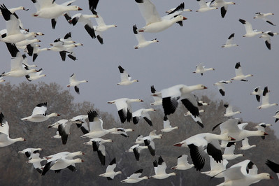 "BOSQUE DEL APACHE 4224  ""Snow Geese taking flight""  Bosque del Apache National Wildlife Refuge"