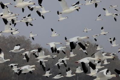"BOSQUE DEL APACHE 4224  ""Snow Geese taking flight""  Bosque del Apache National Wildlife Refuge"