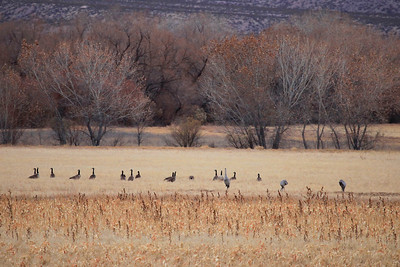 """BOSQUE DEL APACHE 4039  """"Safe Zone""""  A group of Canada Geese along with a few Sandhill Cranes rests in a field at Bosque del Apache National Wildlife Refuge.  The fields provide food and a modicum of protection from coyotes, their main predator at the refuge.  The birds are usually clustered in the middle of these fields, so they can see the coyotes coming in time to take off and avoid being caught by one."""
