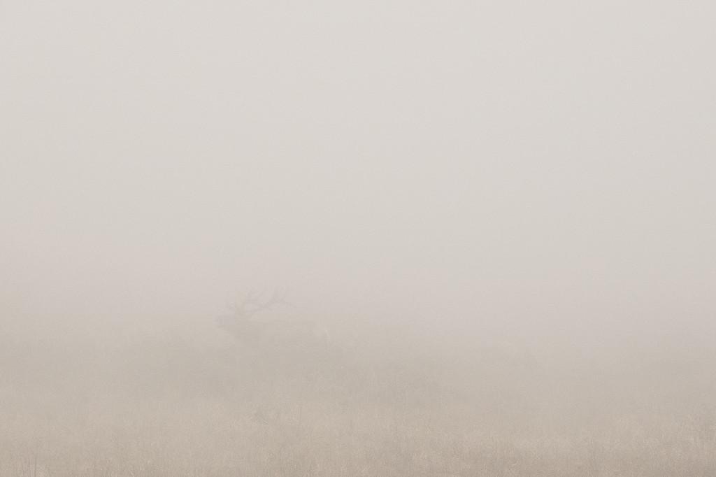 """CALIFORNIA 05394<br /> <br /> """"Tule Elk in Fog""""<br /> <br /> Point Reyes National Seashore"""