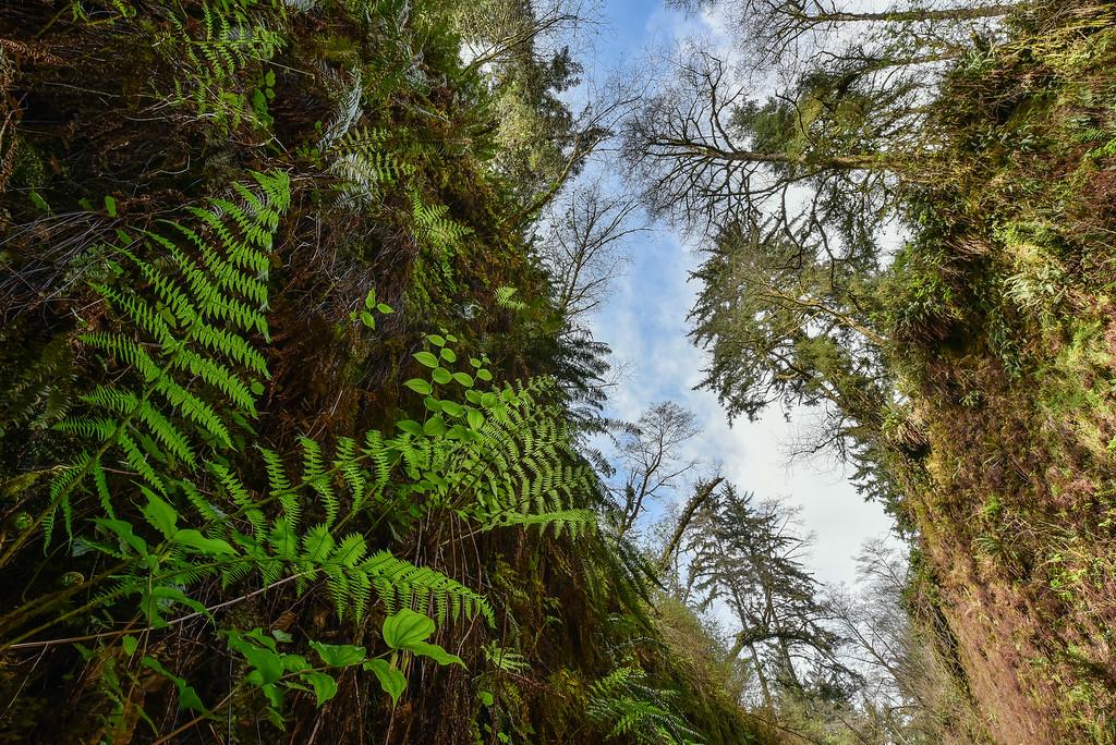 "CALIFORNIA 2612<br /> <br /> ""Fern Canyon""<br /> <br /> Prairie Creek Redwoods State Park"