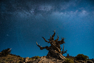 """CALIFORNIA 9777  """"Milky Way and Moonlight over Ancient Bristlecone""""  Schulman Grove, White Mountains"""