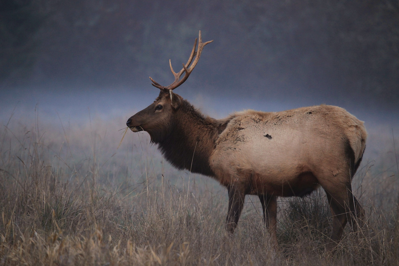 "CALIFORNIA 3731<br /> <br /> ""Elk in evening fog""<br /> <br /> Redwood National Park"