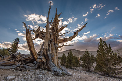 """CALIFORNIA 9868  """"Ancient Bristlecone Forest""""  Patriarch Grove, White Mountains"""