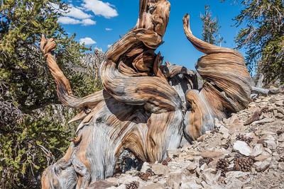 "CALIFORNIA 03277  ""Ancient Bristlecone Forest""  Schulman Grove, White Mountains"