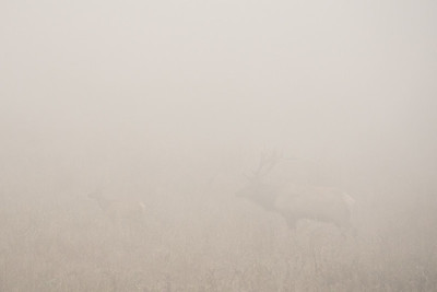 "CALIFORNIA 05400  ""Tule Elk in Fog""  Point Reyes National Seashore"