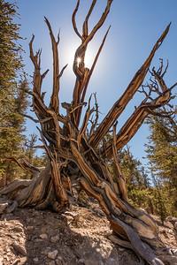 "CALIFORNIA 03284  ""Ancient Bristlecone Forest""  Schulman Grove, White Mountains"