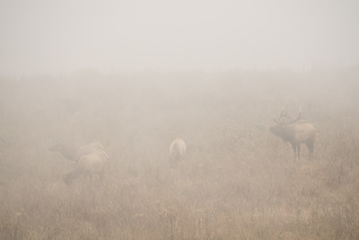 "CALIFORNIA 05426  ""Tule Elk in Fog""  Point Reyes National Seashore"