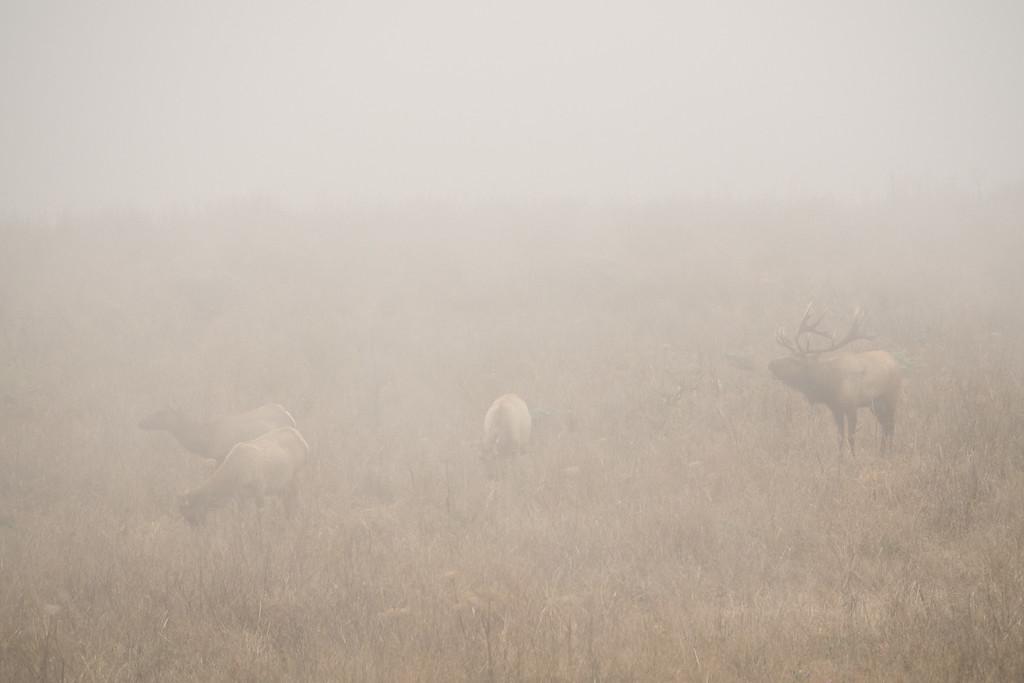 """CALIFORNIA 05426<br /> <br /> """"Tule Elk in Fog""""<br /> <br /> Point Reyes National Seashore"""