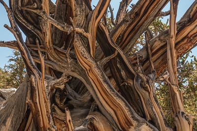 "CALIFORNIA 03288  ""Ancient Bristlecone Forest""  Schulman Grove, White Mountains"