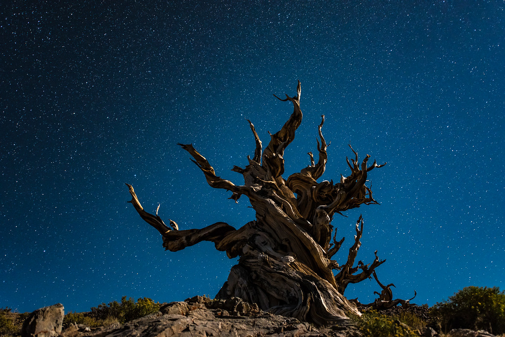 "CALIFORNIA 9775<br /> <br /> ""Starlight and Moonlight over Ancient Bristlecone""<br /> <br /> Schulman Grove, White Mountains"