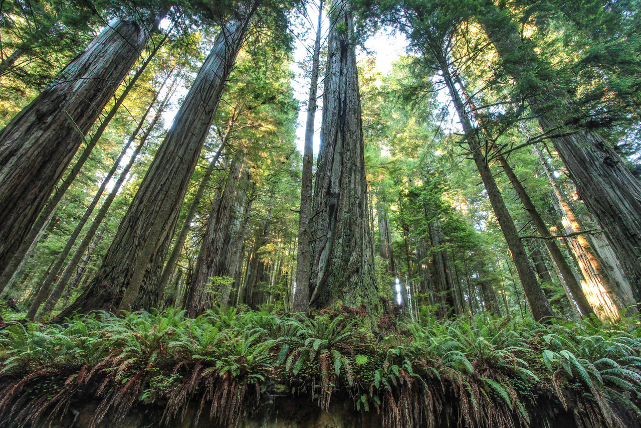 "CALIFORNIA 8201<br /> <br /> ""Ancient Giants""<br /> <br /> Jedediah Smith Redwoods State Park"