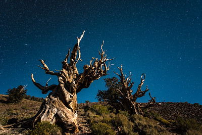 """CALIFORNIA 9792  """"Starlight and Moonlight over Ancient Bristlecones""""  Schulman Grove, White Mountains"""