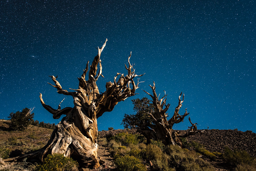 "CALIFORNIA 9792<br /> <br /> ""Starlight and Moonlight over Ancient Bristlecones""<br /> <br /> Schulman Grove, White Mountains"