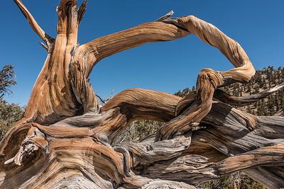 "CALIFORNIA 03311  ""Ancient Bristlecone Forest""  Schulman Grove, White Mountains"
