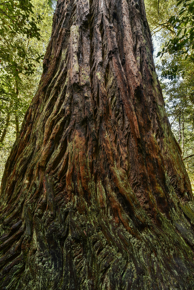 "CALIFORNIA 2682<br /> <br /> ""Mighty Redwood""<br /> <br /> Lady Bird Johnson Grove - Redwood National Park"