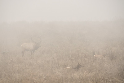 "CALIFORNIA 05420  ""Tule Elk in Fog""  Point Reyes National Seashore"