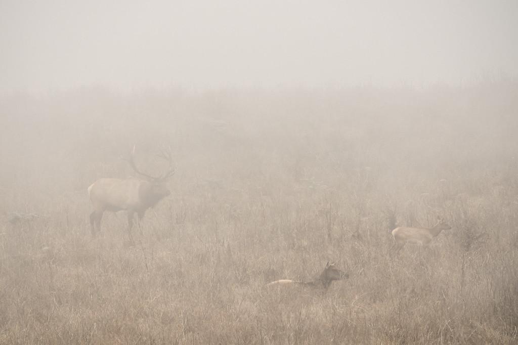 """CALIFORNIA 05420<br /> <br /> """"Tule Elk in Fog""""<br /> <br /> Point Reyes National Seashore"""