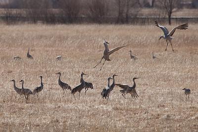 """NEBRASKA 2300  """"Joyful Cranes"""""""