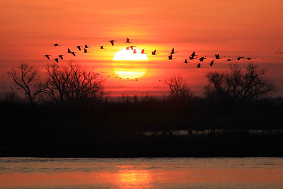 "NEBRASKA 6365  ""Winged Migration""  Sandhill Cranes fly in front of the sun as they leave the Platte River at sunrise."