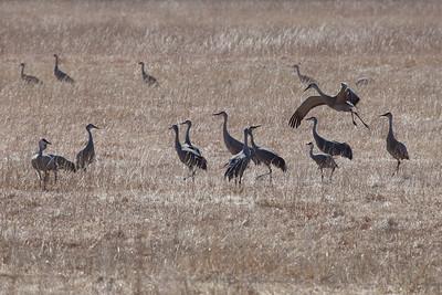 """NEBRASKA 2290  """"Joyful Cranes"""""""