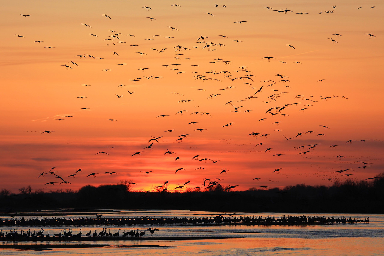 "NEBRASKA 6240  ""Evening fly-in on the Platte""  Sandhill Cranes flying in to the Platte River at sunset to roost for the night."