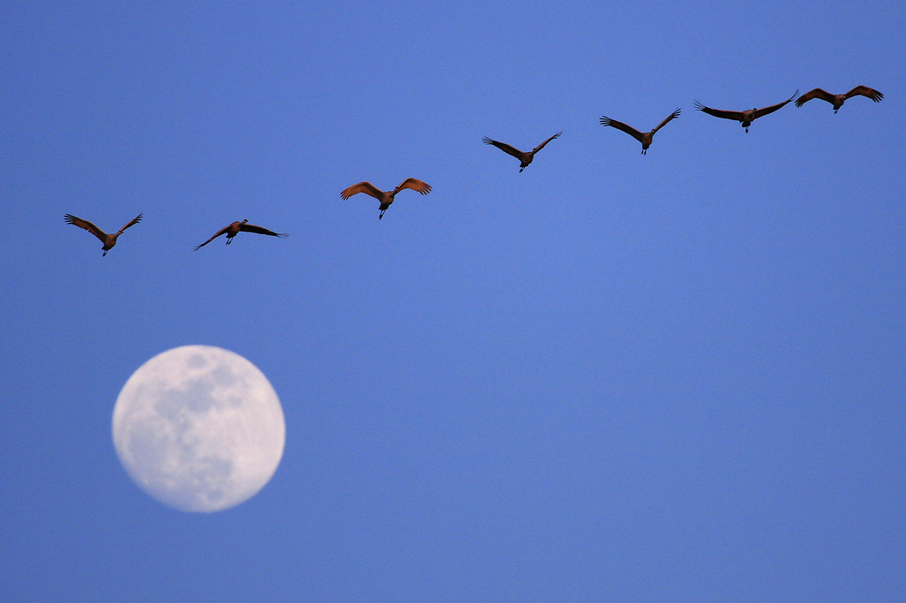 "NEBRASKA 9059<br /> <br /> ""Moonlight Flight""<br /> <br /> A group of cranes passes in front of the moon as they fly in to the Platte River at sunset."