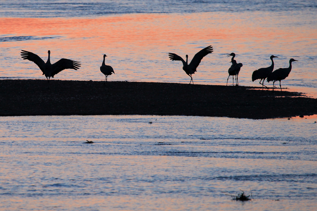 "NEBRASKA 6261  ""Sand bar landing""  Sandhill Cranes on the Platte River"