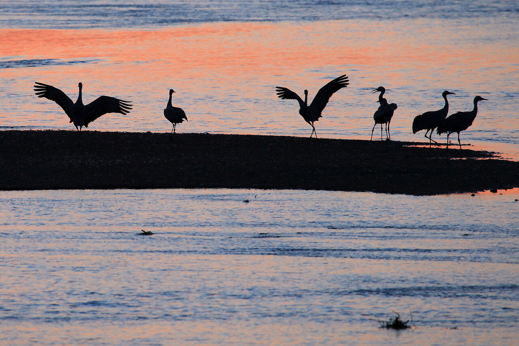 "NEBRASKA 6261<br /> <br /> ""Sand bar landing""<br /> <br /> Sandhill Cranes on the Platte River"