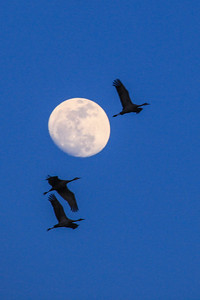 "NEBRASKA 7513-2  ""Sandhill Cranes and Moon"""