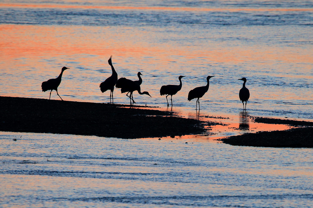 "NEBRASKA 6263<br /> <br /> ""Sunset Posse""<br /> <br /> Sandhill Cranes on the Platte River"
