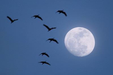 "NEBRASKA 6353  ""Sandhill Cranes and March Moon"""