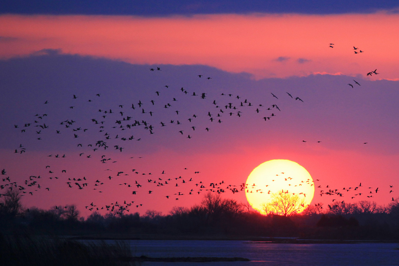 "NEBRASKA 6616  ""Spring sunset over the Platte River""  A large group of cranes flies past the sun as it sets over the river.  This group of cranes landed in a farm field on the opposite side of the river, but soon took flight again and landed on the sandbars in the middle of the river."