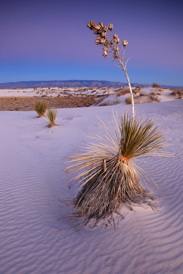 "NEW MEXICO 4843<br /> <br /> ""Evening Yucca""<br /> <br /> White Sands National Monument"