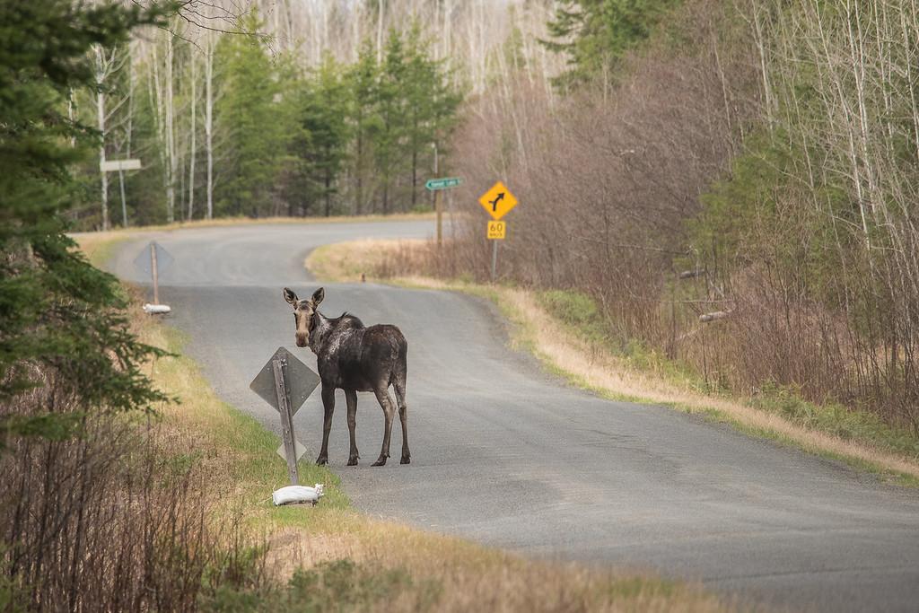 """ONTARIO 5017<br /> <br /> """"Devon Road Moose"""""""