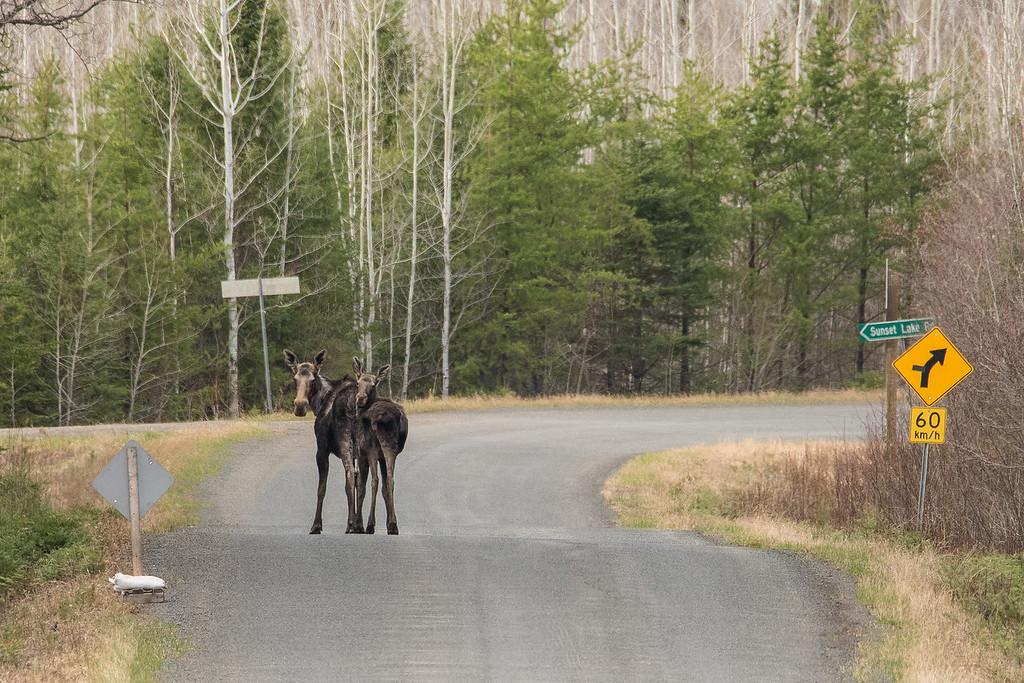 """ONTARIO 5020<br /> <br /> """"Devon Road Moose"""""""