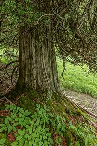 "ONTARIO 06423  ""Ancient Cedar""  Sleeping Giant Provincial Park"