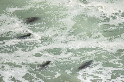 "OREGON 2959  ""Surfing Seals""  Near Heceta Head Lighthouse"