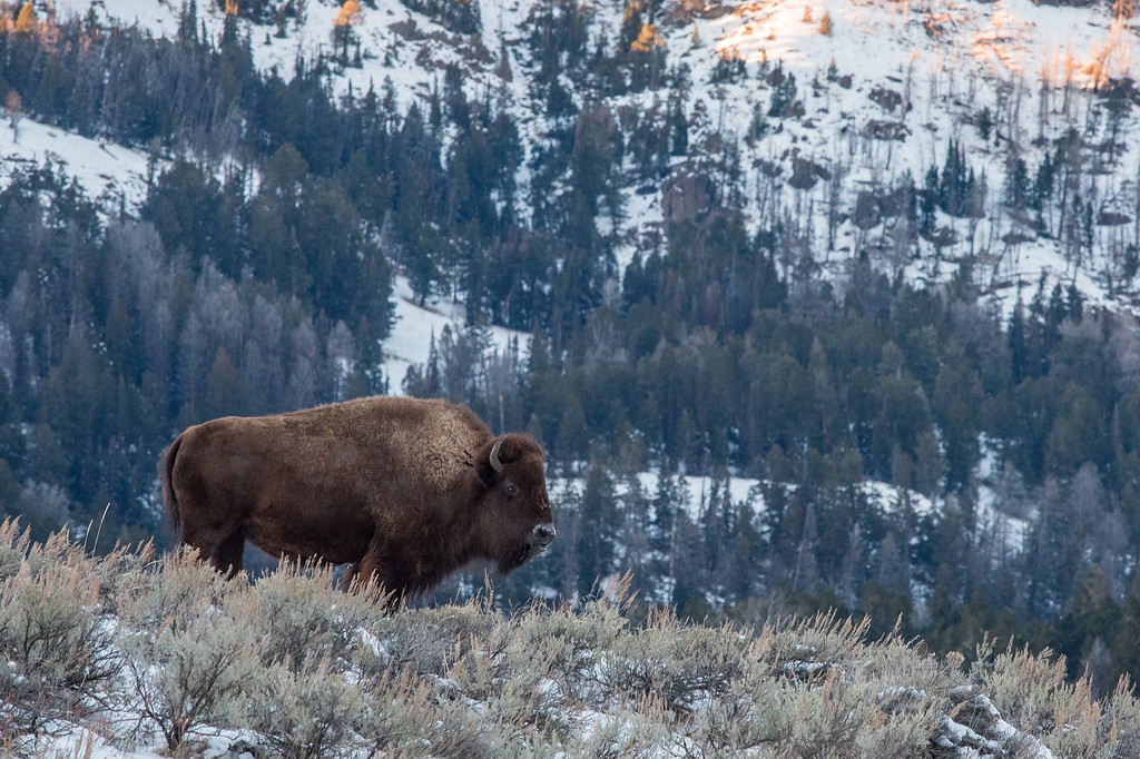 "WYOMING 4838<br /> <br /> ""Mountain Bison""<br /> <br /> Yellowstone National Park"