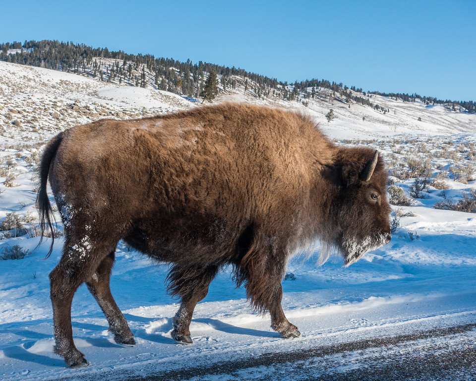 "WYOMING 07791<br /> <br /> ""Close-Up of Frosty Beard Bison""<br /> <br /> Yellowstone National Park"