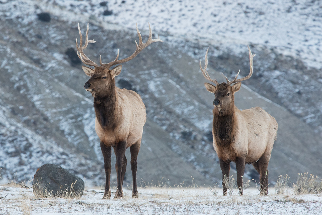 "WYOMING 4867<br /> <br /> ""Yellowstone Elk - Official Park Greeters!""<br /> <br /> Mammoth Entrance - Yellowstone National Park"