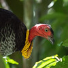 DSC_2198 Australian brush-turkey (Alectura lathami) head showing wattle. A common, widespread species of megapode, or mound-building bird, found in eastern Australia from Far North Queensland to the south coast of New South Wales. Kuranda National Park,Queensland *